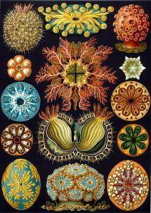 426px-Haeckel_Ascidiae